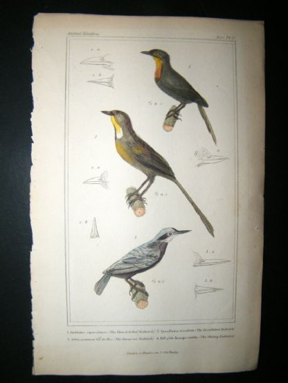 Cuvier C1835 Antique Hand Col Bird Print. Thrush Billed Nuthatch, Tessellated Nuthatch, European Nuthatch, 27 | Albion Prints
